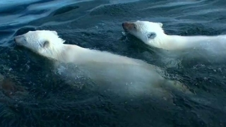 Polar Bears: A Summer Odyssey (2012) Full Movie - HD 1080p